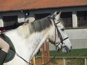 """""""idéfix"""" petit cheval très demandé par nos cavaliers."""